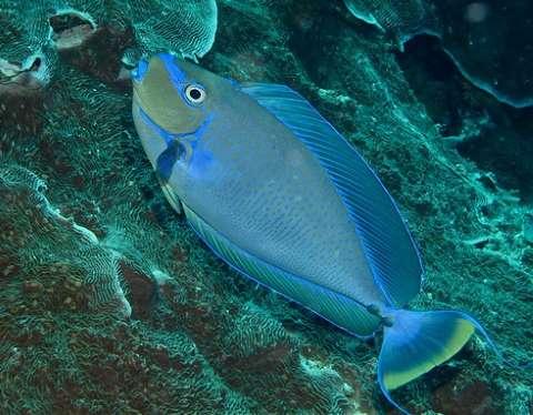 Bignose Unicornfish Apperance