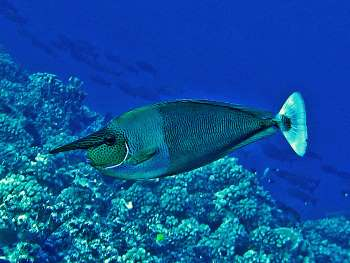 Naso brevirostris can be found widely throughout the Indian and Pacific Oceans.