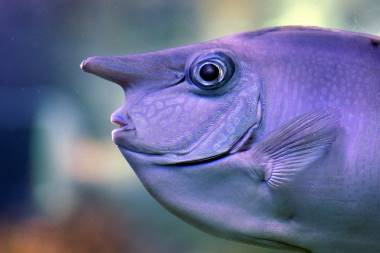 Unicorn fish with a horn on its forehead.
