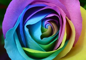 Purple and blue unicorn rose